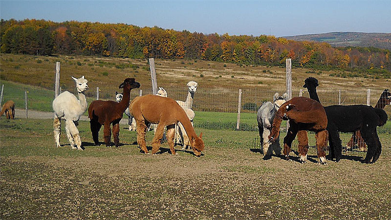 Photo - WePaca Punch Alpacas